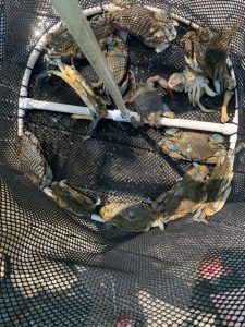 picture of the Bait Basket loaded with a couple of days of crab harvested